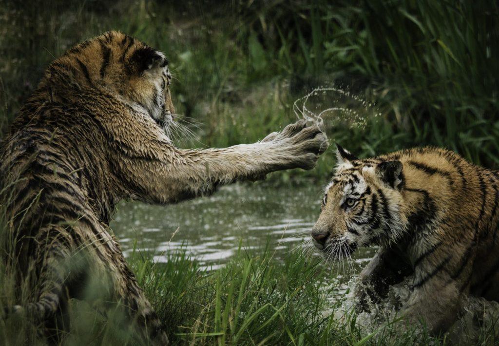 Тигры, продающий текст, живой ритм